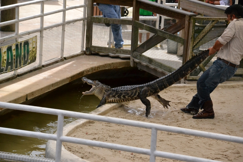 This guy was no shit certifiable. And this was his second go at the gator - he got away the first time. Just crazy.