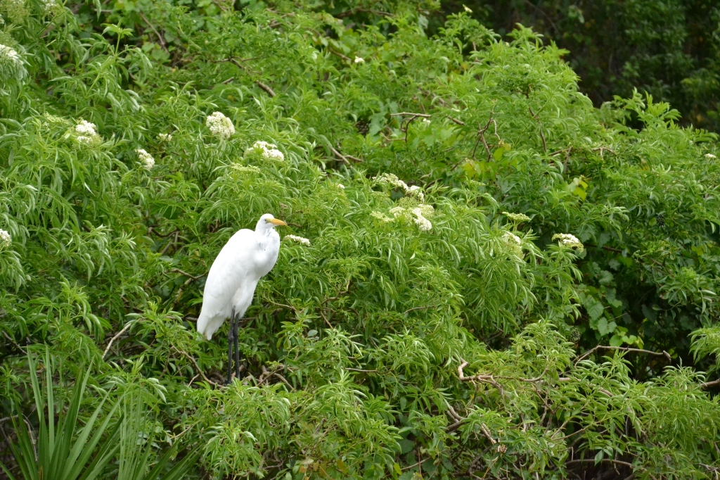 Great Egret. Looks like another freaking country.