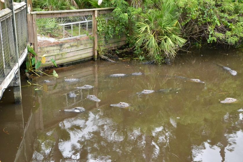 So.Many.Alligators